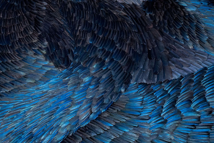 detail >> SLICK (2011)  © Kate MccGwire Antique Fire basket, mixed-media with magpie and crow feathers.  Dimensions 250 x 280 x 60 cm photo © Te