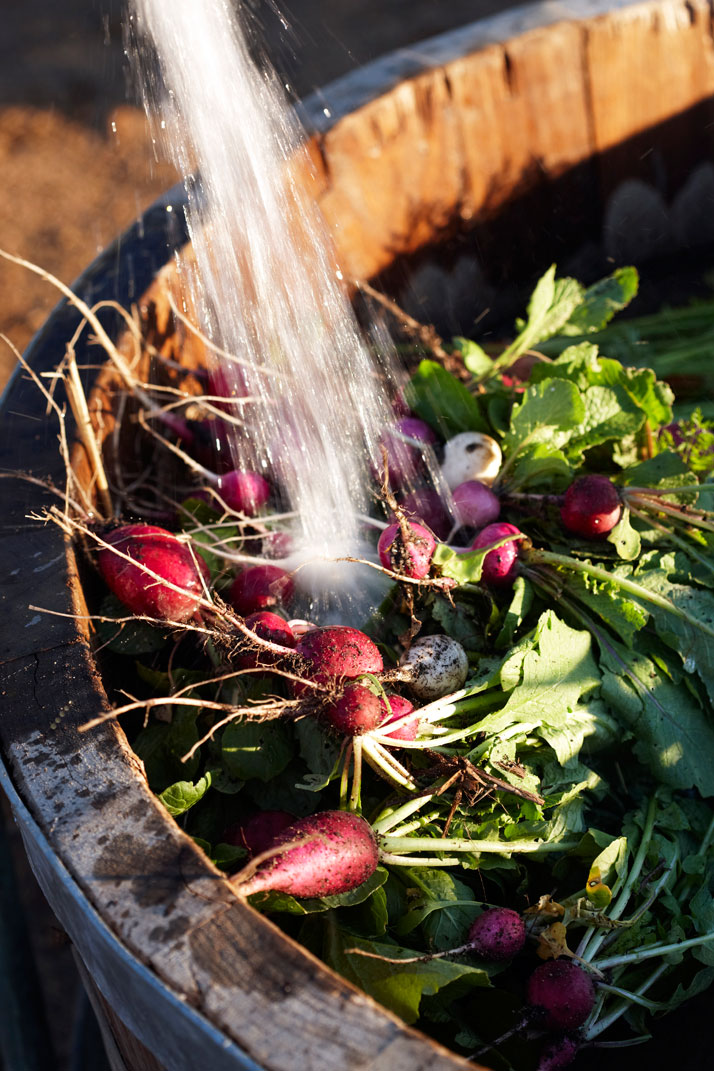 Radishes from the garden, photo © Babylonstoren