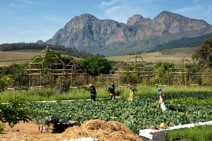 Picking vegetables for restaurant with view of Simonsberg, photo © Babylonstoren
