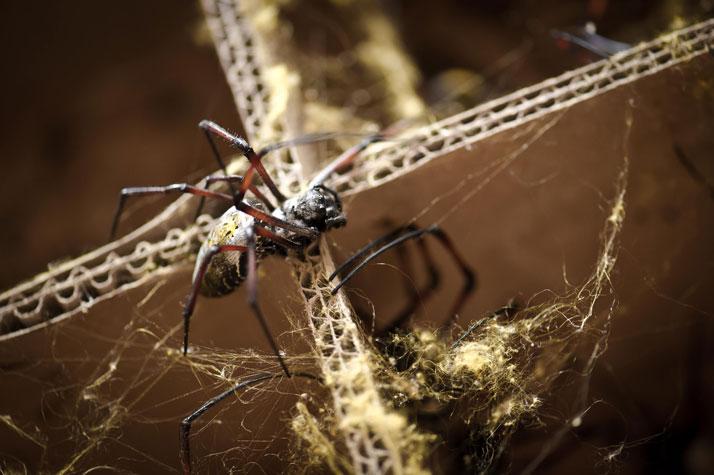 The golden orb spiderphoto © John Brown