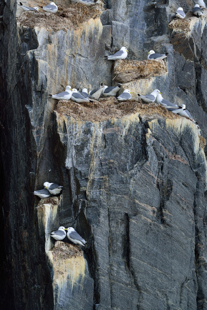 Nesting seagulls on the bird sanctuary of Bylot Island.photo © David De Vleeschauwer, Classe Touriste