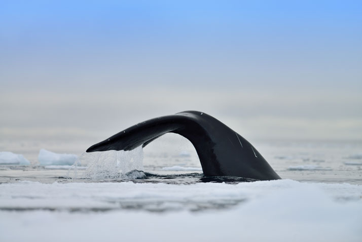 Bowhead whale feeding under the pack ice.photo © David De Vleeschauwer, Classe Touriste