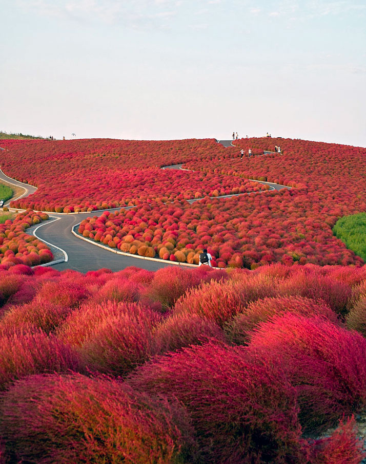 Hitachi Seaside Park, Japan.photo © Unknown.