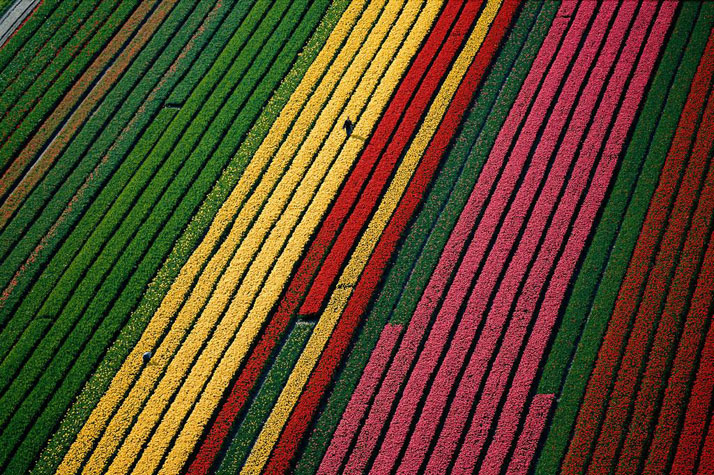 Fields of tulips near Lisse, near Amsterdam, Netherlands.photo © Yann Arthus-Bertrand.