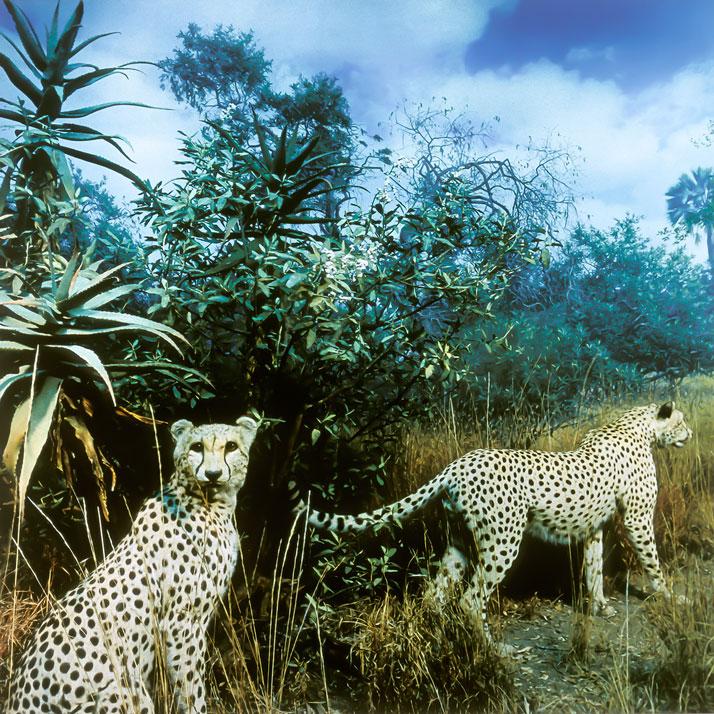 Karl Grimes, Cheetahs. © Karl Grimes.
