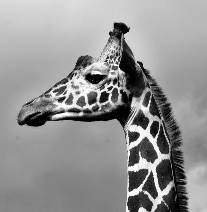Giraffa camelopardalis, 2013.  Photo © Katerina Kaloudi.