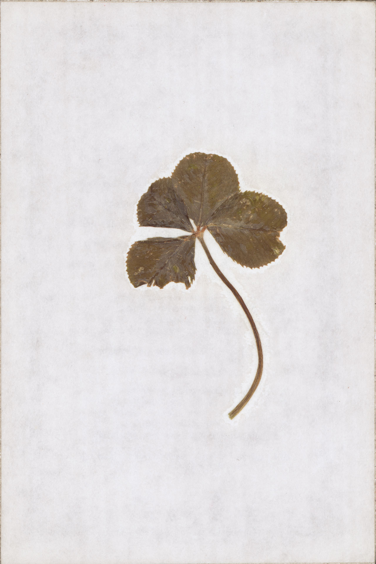 A four-leaf clover, a rare variation of the common three-leaf clover that Jacques Arpels considered a lucky charm. © Van Cleef & Arpels.