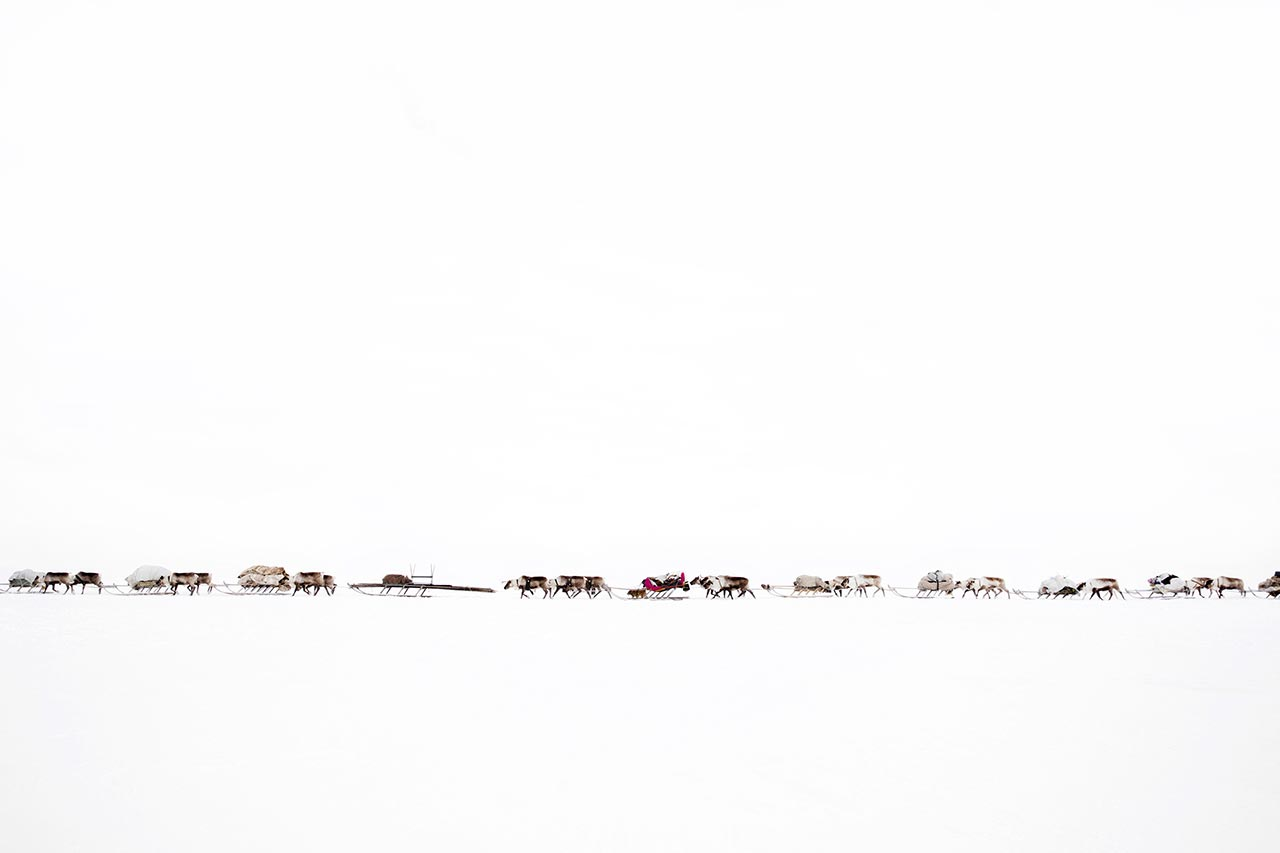 A convoy of reindeer, belonging to the Serotetto (white reindeer) family, during their migration over the frozen river of Ob. Yamalo-Nenets Autonomous Okrug, Russia. Photo © Oded Wagenstein.
