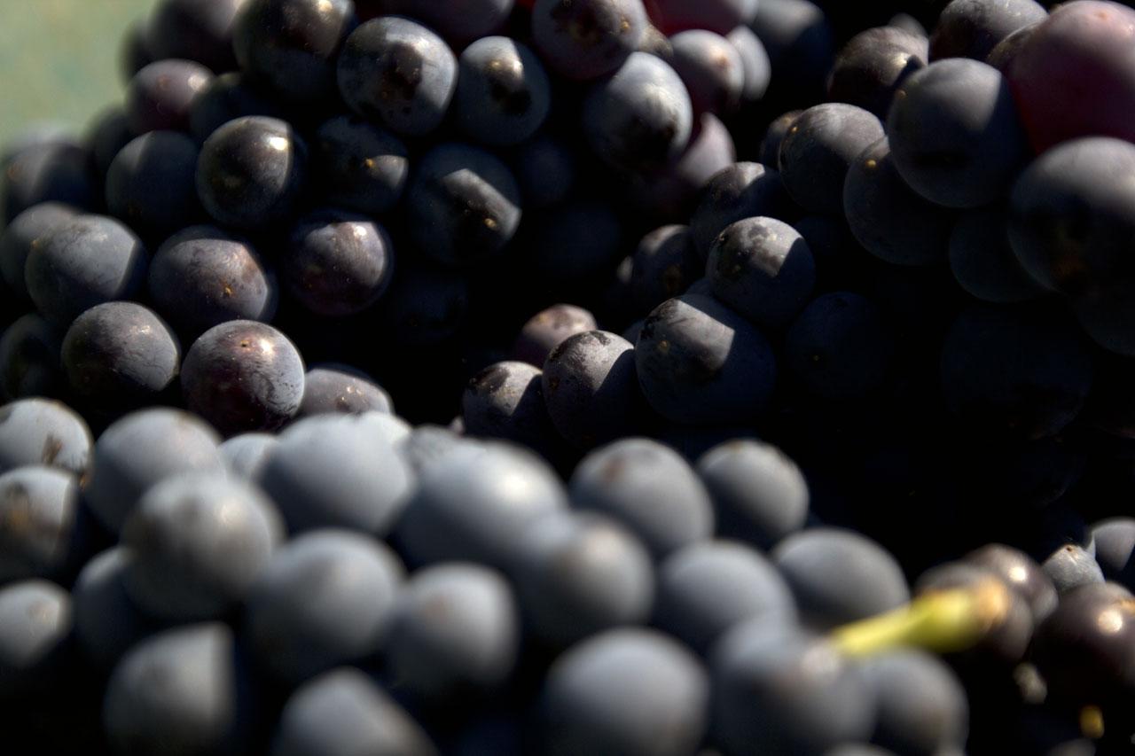 Dom Pérignon 'Pinot noir' vineyardsin the Champagne region of France. Photo by Costas Voyatzis for Yatzer.